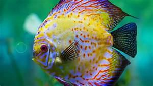 Top discus fish....... - YouTube