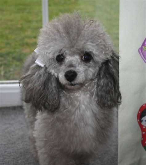 silver toy poodles  sale tiny silver toy poodle