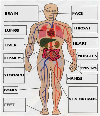 Diagram Of Part Of Human by Four Things About A Simple Approach To Anatomy And