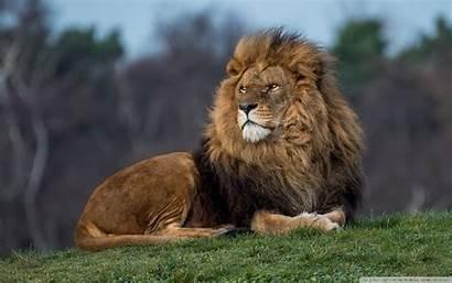 Lion King Wide Uhd 4k Wallpapers Desktop