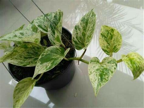 jual tanaman gantung hidup sirih gading putih devils ivy
