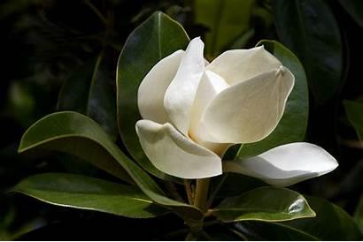 Magnolia Desktop Caedes Theme Idees Decouvrez