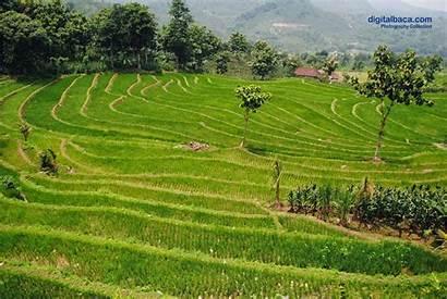 Sawah Pertanian Hamparan Digitalbaca Gambar
