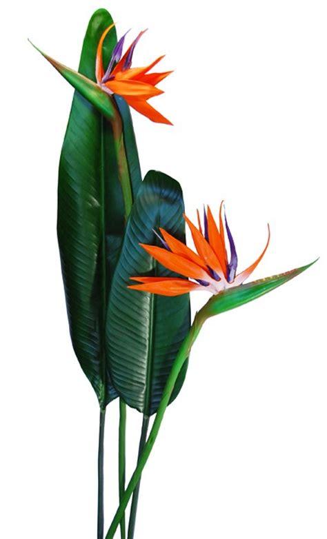fiore sterlizia fiore tropicale strelitzia grande fiori e