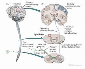 Anatomy of the Sensory System