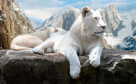 sports white lion hd wallpapers