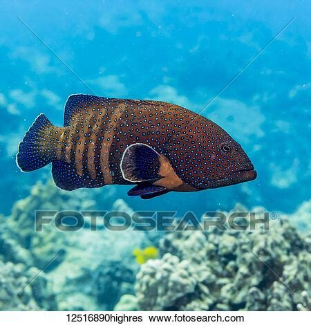 hawaii grouper species invasive cephalopholis peacock introduced argus deliberately considered island fotosearch states america united photograph