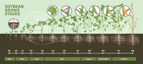 assessing soybean stands novus ag