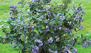 Blueberry Small Fruit Tree - Méga Centre Groupe
