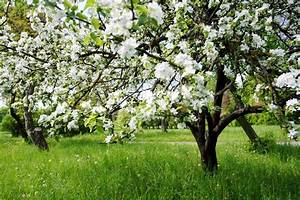 A Blooming Branch Of Apple Tree In