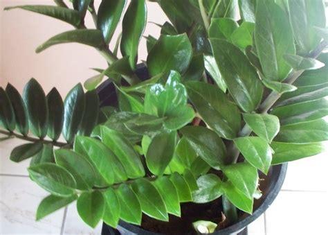 Zamioculcas Zamiifolia (zz) Plant