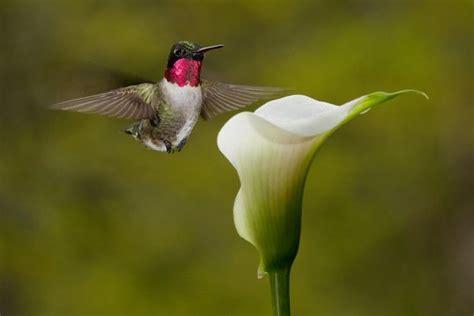 pictures  canna lillies ian grey hummingbird