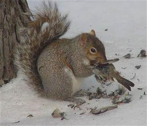 squirrels eating rats animal behavior food ask