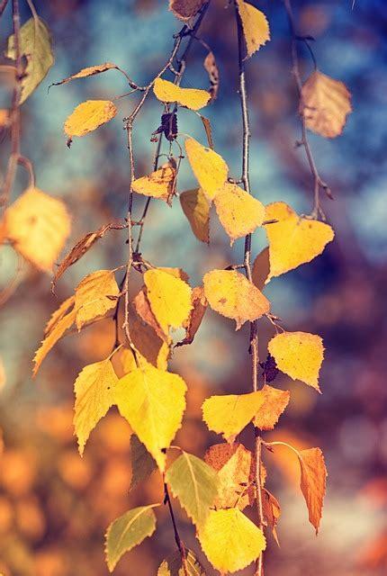 birch leaves fall foliage  photo  pixabay