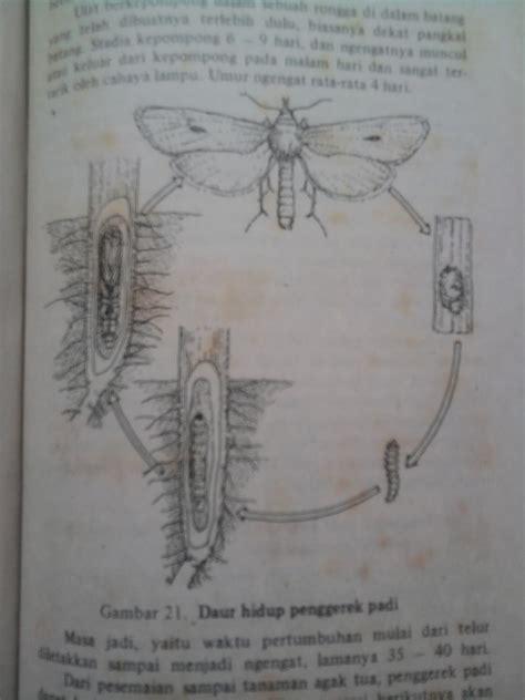 pembasmi sundep siklus hidup sundep  penggerek batang