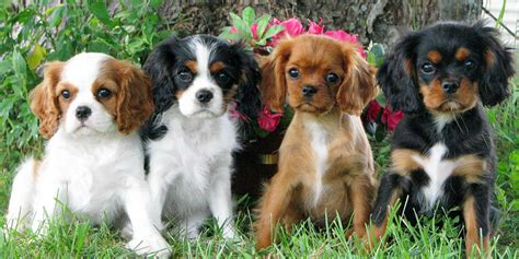 Lhasa Apso Puppy Shedding by Cavalier King Charles Spaniel Information