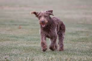 22 hypoallergenic dog breeds dog reference
