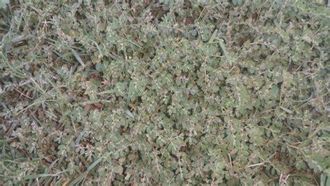 Weed Identification In Bermuda Grass