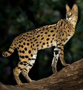 serval cat photo gallery servals