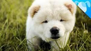 White Cute Chow Chow Puppy