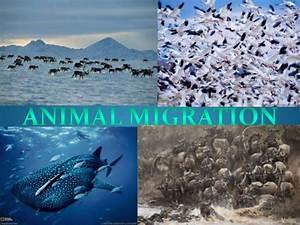 Animal migration presentation  Migration