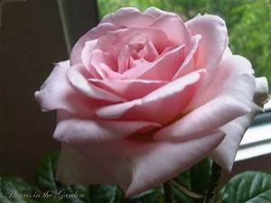 Houris in the Garden: Enchanting Roses...light pink rose!