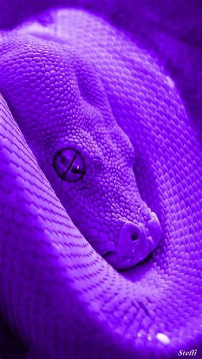 Purple Snake Snakes Cobra King Pretty Python