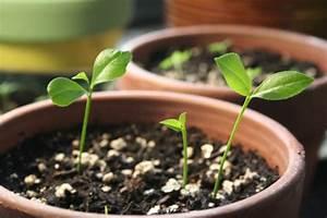 Planter Un Citronnier : comment faire pousser un citronnier partir de graines ~ Melissatoandfro.com Idées de Décoration