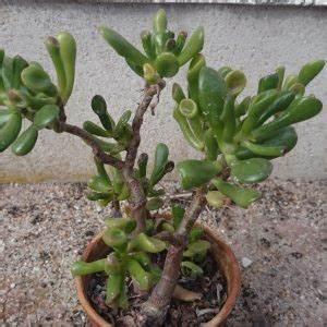 Plantes à Suspendre : comment entretenir la plante grasse crassula ovata ~ Premium-room.com Idées de Décoration