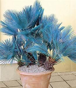 Palme Winterhart Kübel : blaue zwerg palme 1a qualit t kaufen baldur garten ~ Michelbontemps.com Haus und Dekorationen
