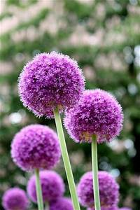 168 best images about All About Alliums & Agapanthus ...