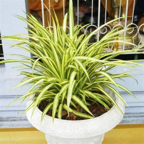 plantes de bureau sans soleil 10 plantes assainissantes liste ooreka