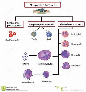 Differentiation Of Blood Cells Stock Illustration