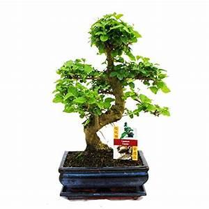 bonsai miniatur baum buddha statue kaufendebuddha With whirlpool garten mit bonsai ligustrum