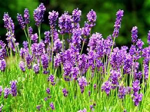 Que Faire Avec Des Fleurs De Lavande : fleur de lavande pour faciliter sommeil et digestion blog th passion ~ Dallasstarsshop.com Idées de Décoration