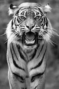 40 Fabulous Tiger Photography