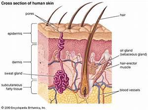 Epidermis  Human Skin