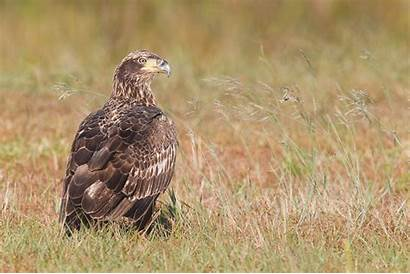 Eagle Bald Young Indian Immature Thoughts Before