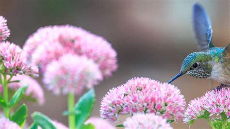 hummingbird  pink flower hd wallpaper hd wallpapers