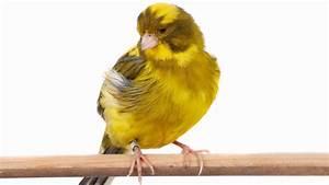 Pájaro canario Origen