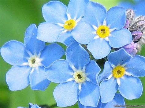 light blue flowers light blue flowers wallpapers frankenstein