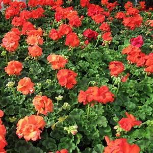 Plante Repulsif Mouche : fleur anti moustiques liste ooreka ~ Melissatoandfro.com Idées de Décoration