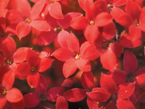 red star  flowers   wallcoonet