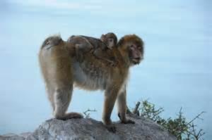 Gibraltar Monkeys - Photo Gibraltar