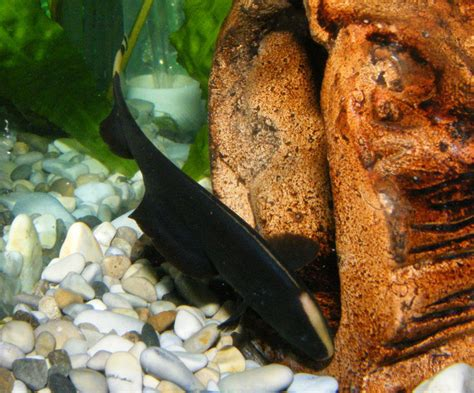 black ghost knifefish apteronotus albifrons