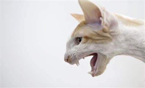 Kaķu skaistuma konkurss Rumānijā - DELFI