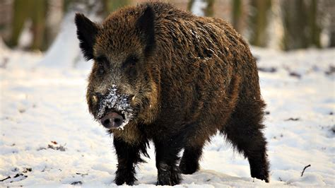 9 Startling Stats About Wild Pig Populations In The U.s