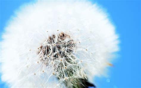White Dandelion Wallpaper Hd Free Download Imagebankbiz