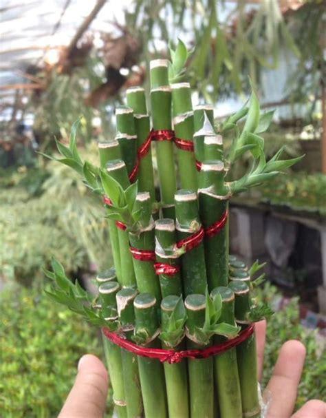 jual ready bibit tanaman bambu rejeki hoki tanaman hias