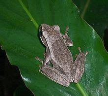katak pohon bergaris wikipedia bahasa indonesia ensiklopedia bebas